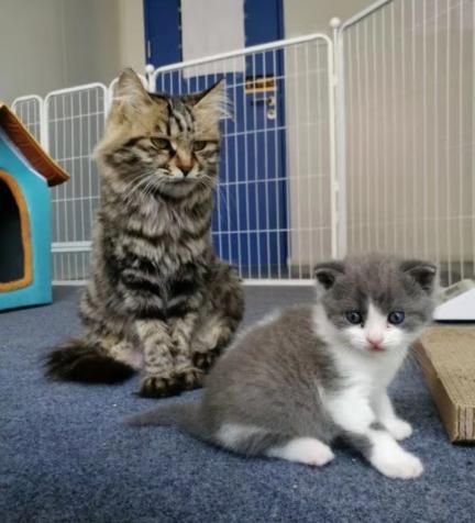 拜猫网_国内首只自主培育的克隆猫诞生了,它叫\