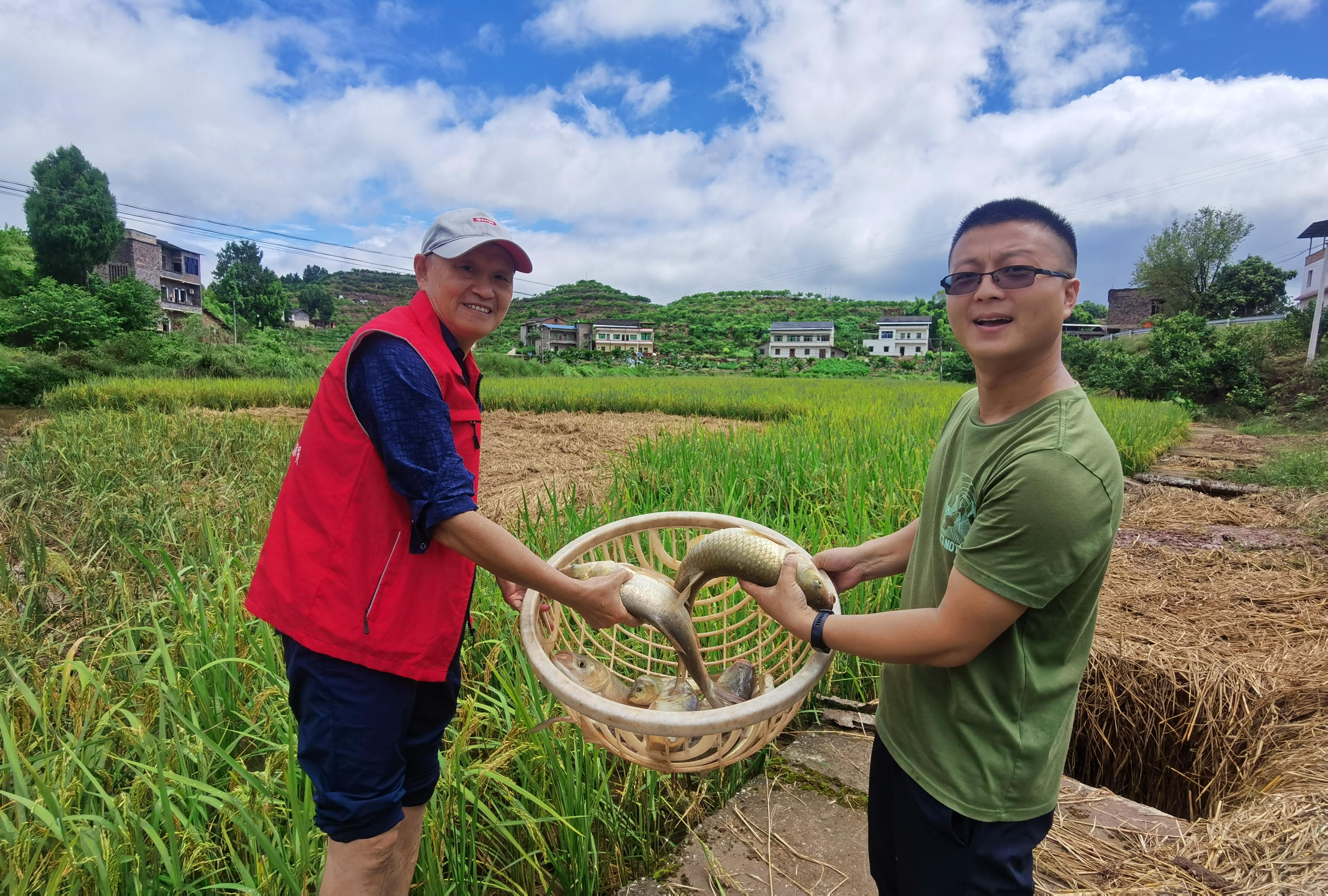 三峡稻田任鱼跃 技术创新促增收