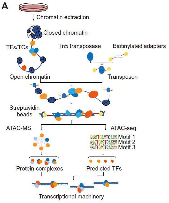 复旦大学发表蛋白质-DNA转录机器最新成果